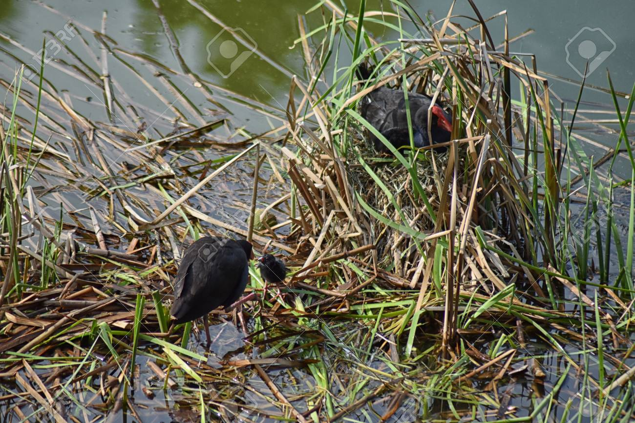 A pair of Purple Swamphens (Porphyrio porphyrio) nesting with chicks Stock Photo - 93208330