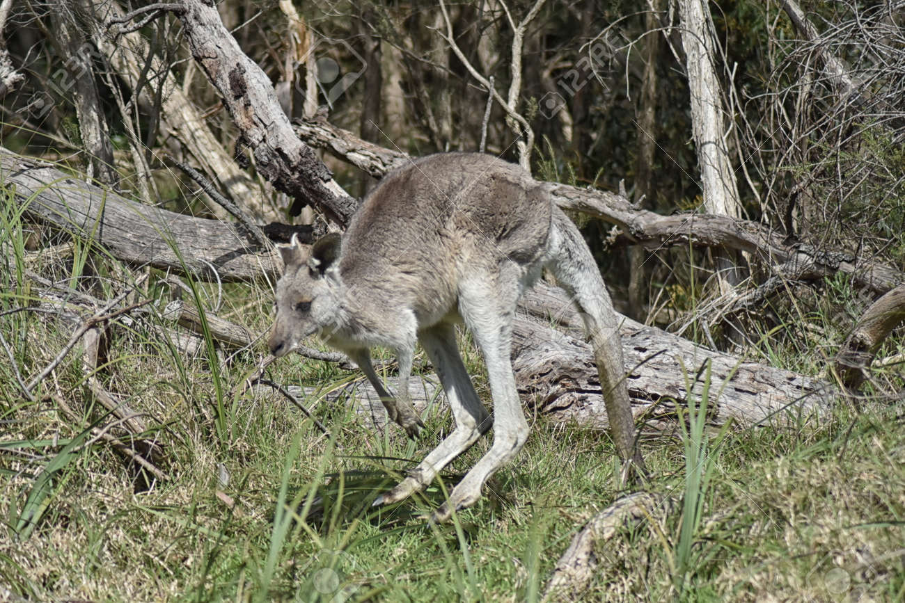 Eastern Grey Kangaroo (Macropus giganteus) in mid leap Stock Photo - 94886894