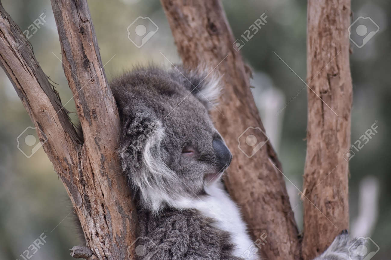 Koala (Phascolarctos cinereus) snozzing in a tree Stock Photo - 94713538