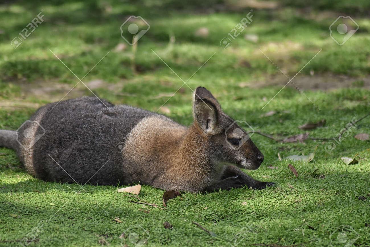 Red kangaroo (Macropus rufus) laying down Stock Photo - 94927342