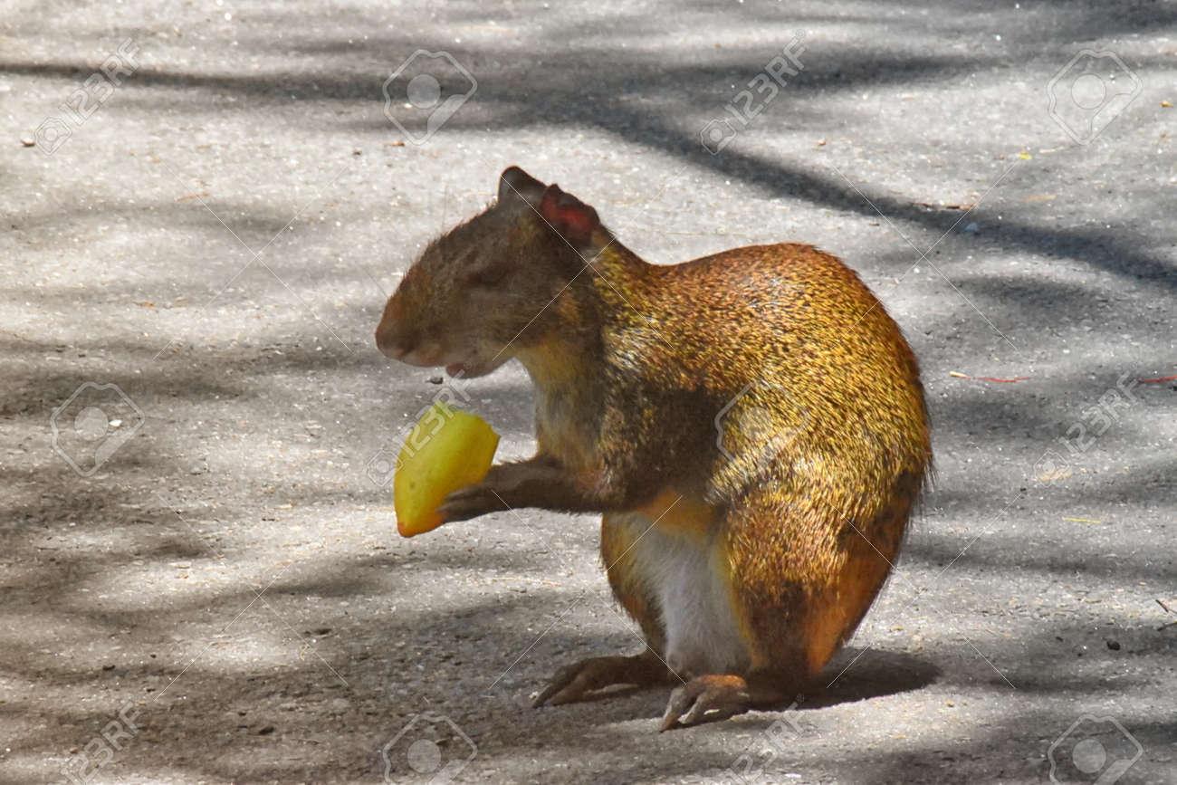 Red-rumped agouti (Dasyprocta leporina) feeding on fruit. Campo de Santana, Rio de Janeiro Stock Photo - 94688371