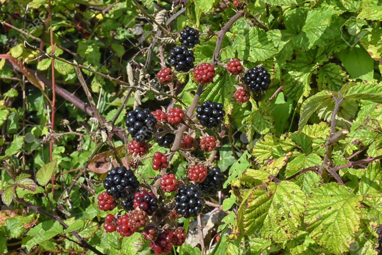 Pictures Of Wild Blackberries