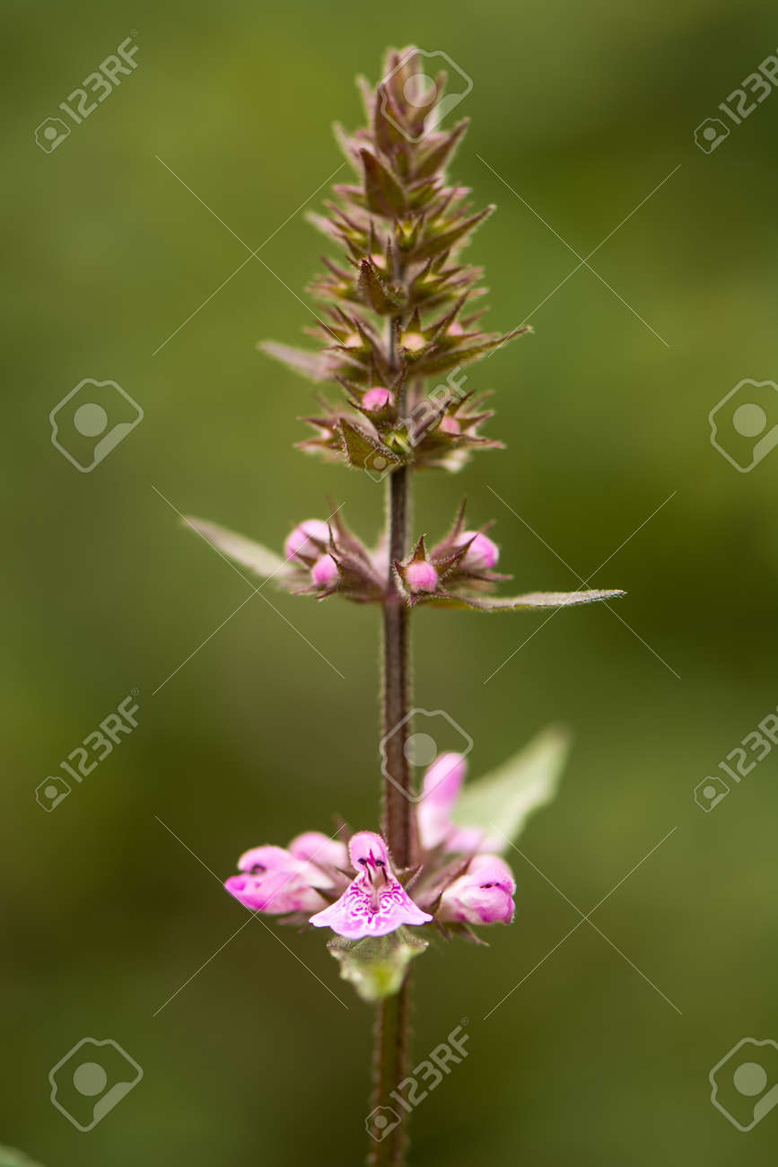 Marsh woundwort stachys palustris flower spike inflorescence marsh woundwort stachys palustris flower spike inflorescence of erect perennial plant with pink mightylinksfo