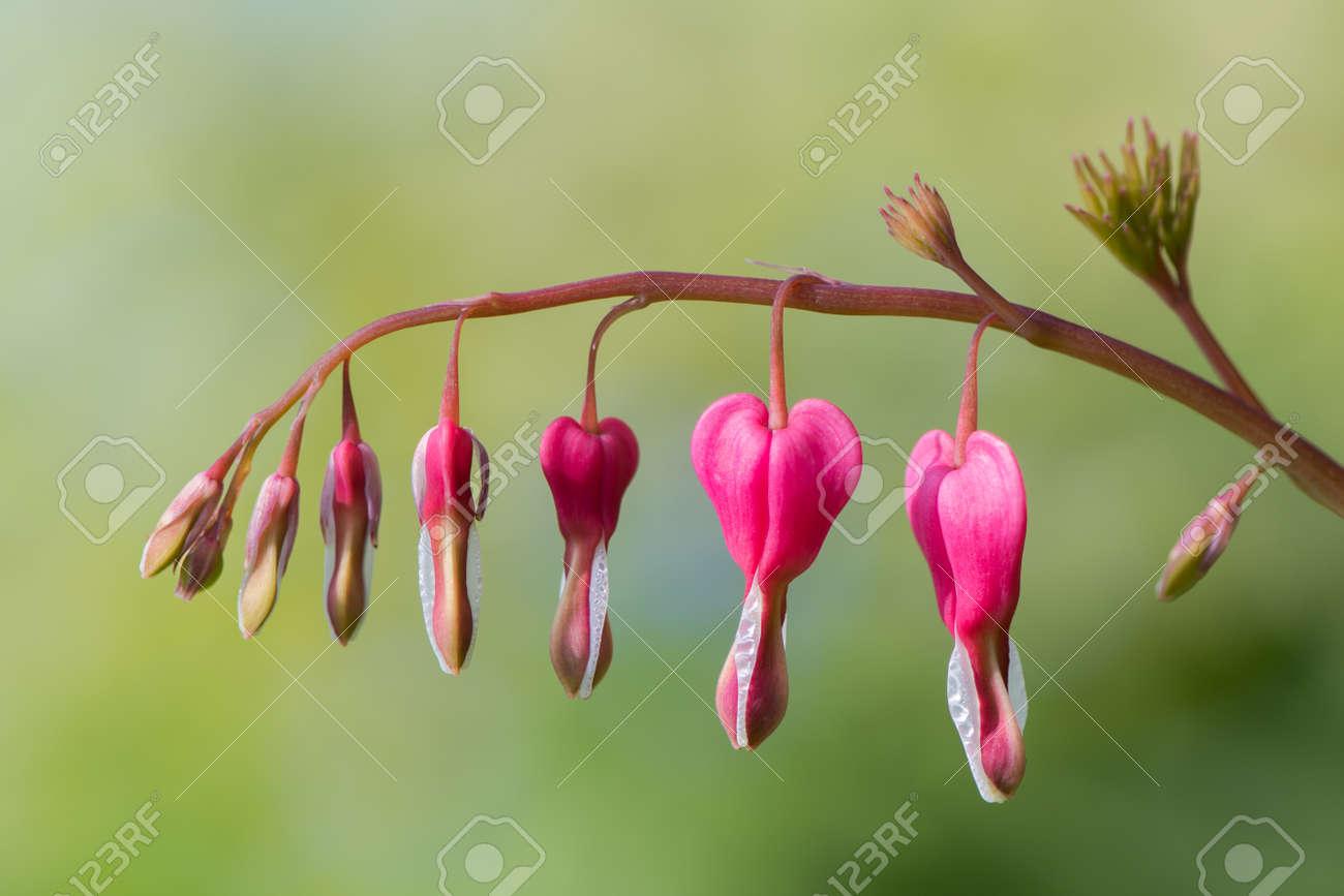 Bleeding Heart Lamprocapnos Spectabilis Flowers Raceme Of Stock