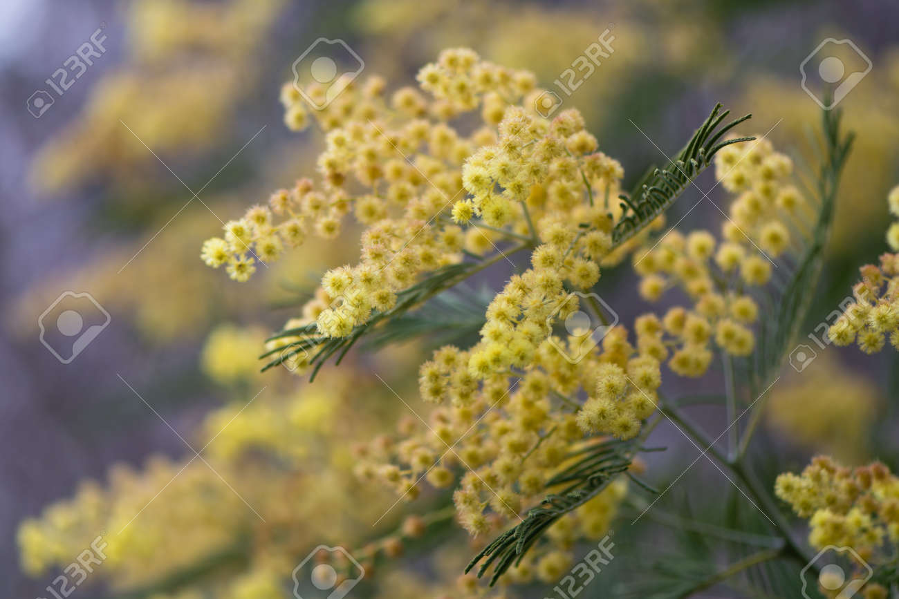 Silver Wattle Acacia Dealbata Yellow Flowers And Foliage