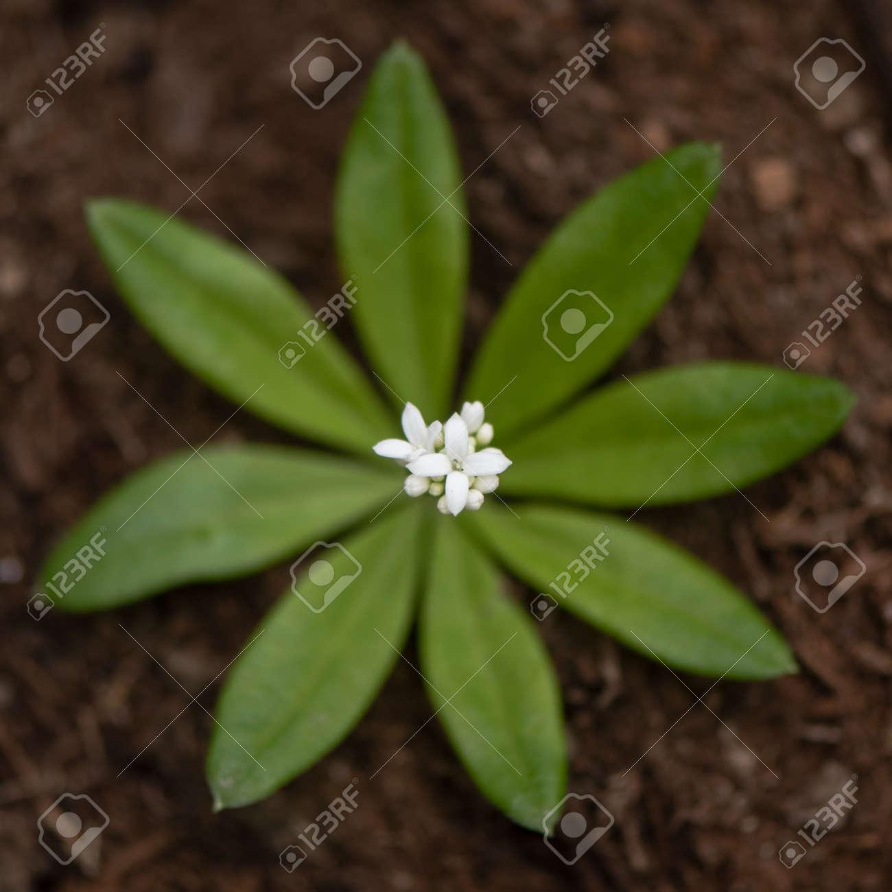 Woodruff Galium Odoratum Flowers And Leaves From Above White