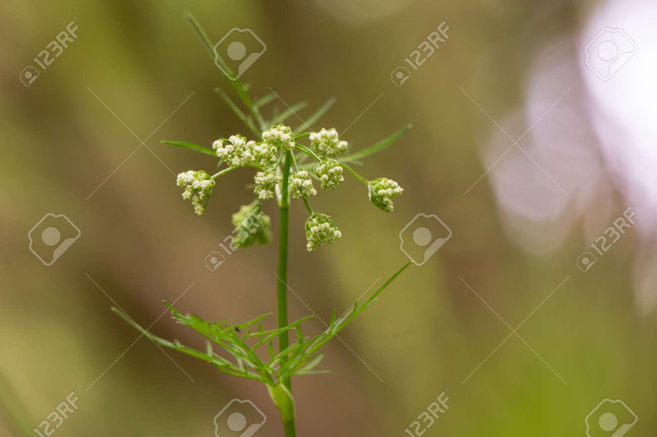 Fiori Bianchi Bosco.Immagini Stock Pignut Conopodium Majus In Fiore Umbel Di