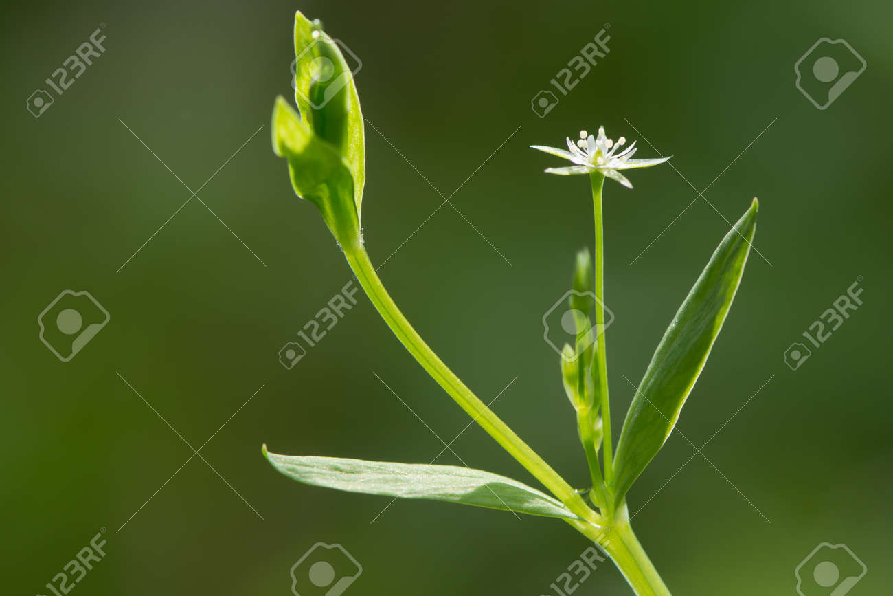 Short creeping plant with white flowers in the family short creeping plant with white flowers in the family caryophyllaceae growing in wet woodland stock izmirmasajfo