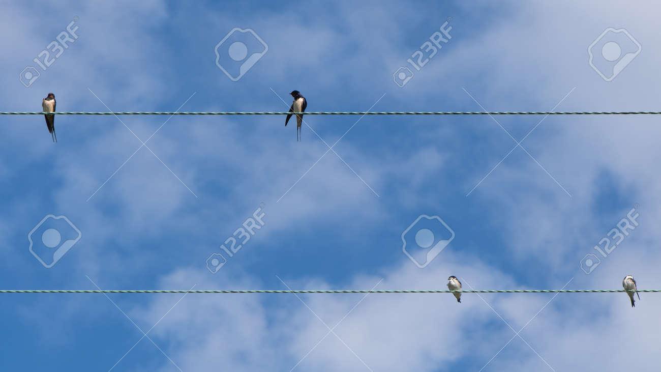 Swallows (Hirundo Rustica) On Telephone Wires. Flock Of Birds ...