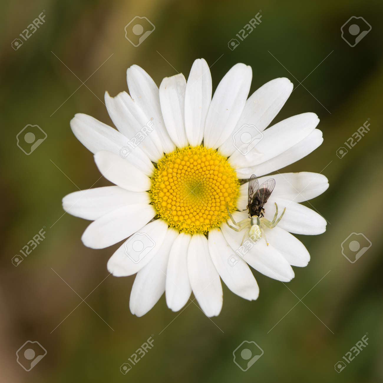 Crab spider preying bumble bee garden spiders spiders flower spiders - Flower Crab Spider Misumena Vatia Crab Spider With Fly On Daisy Camouflaged Arachnid Holding