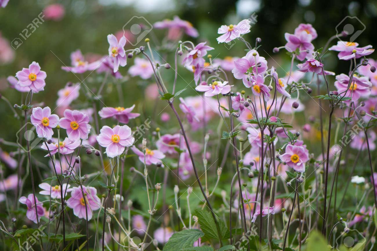 Plantas De Anemona Japonesa Anemona Hupehensis En Flor Planta