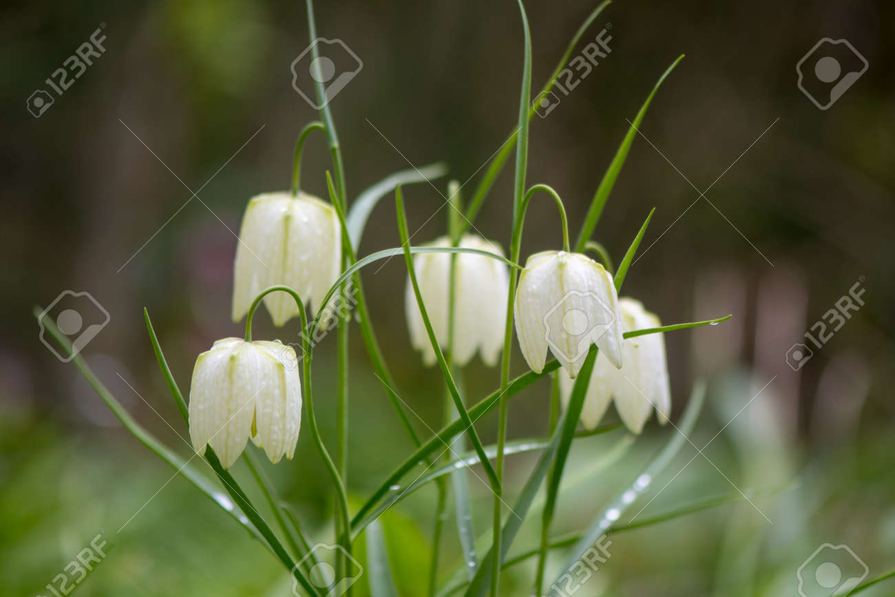 White Flowered Snakes Head Fritillaries Fritillaria Meleagris