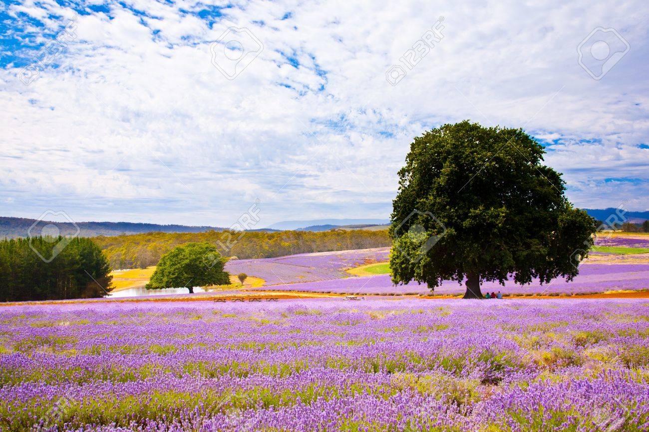 Lavender farm in Tasmania Australia Stock Photo - 13212549