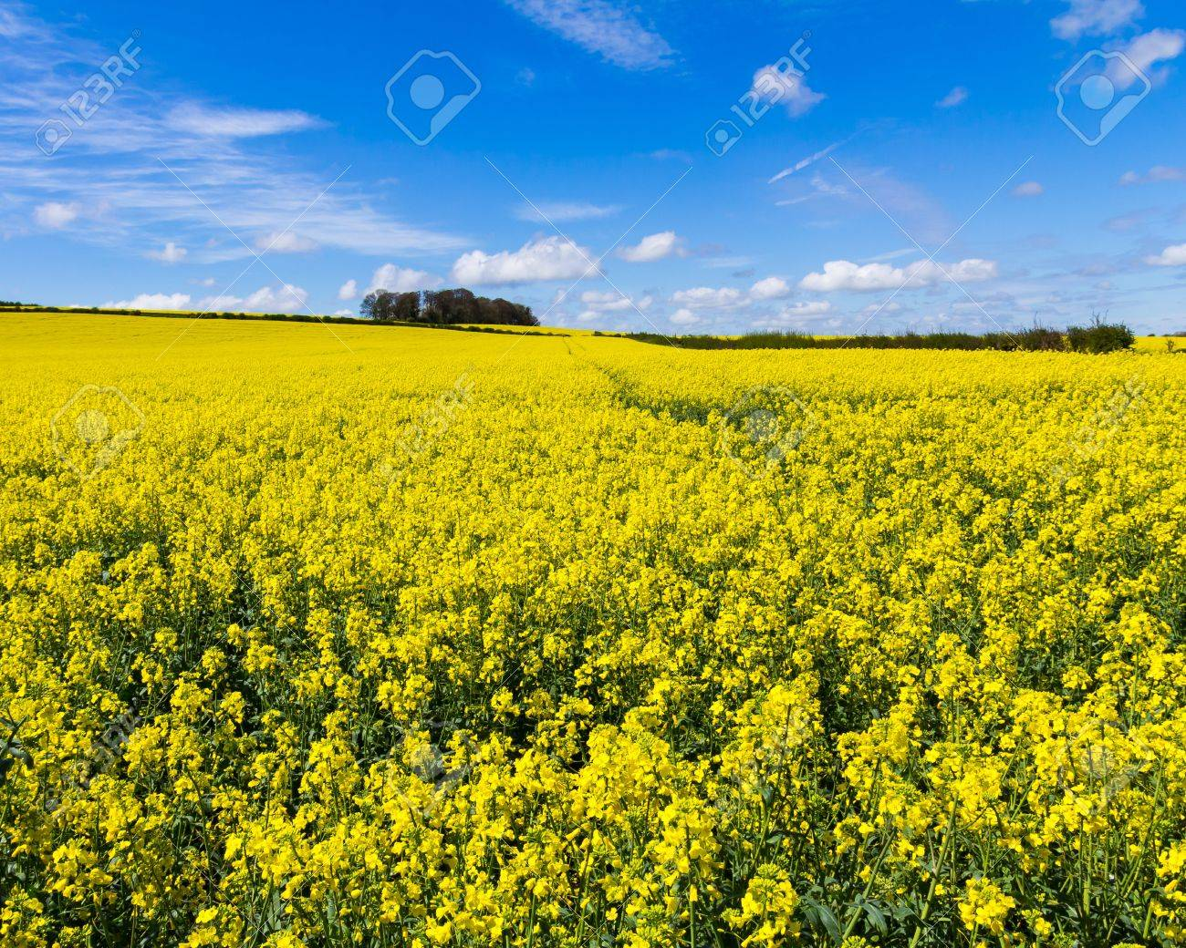 Field of Rapeseed Oil on a sunny day Stock Photo - 15017400
