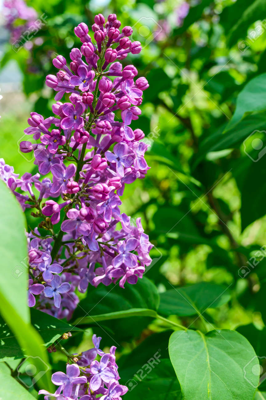 Lilac Bushes With Purple Flowers Among The Green Leaves In The