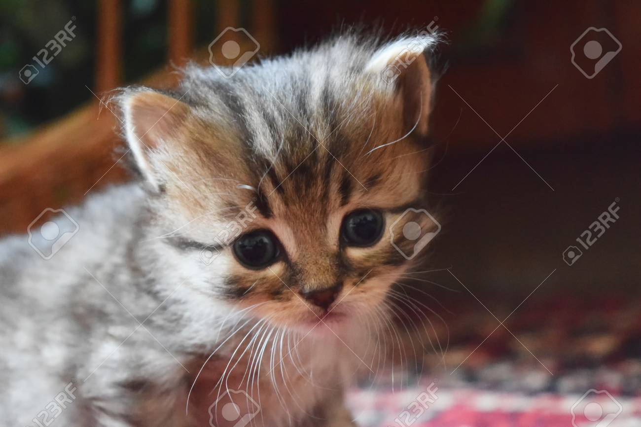 cute fluffy kittens at home looking at the host stock photo picture