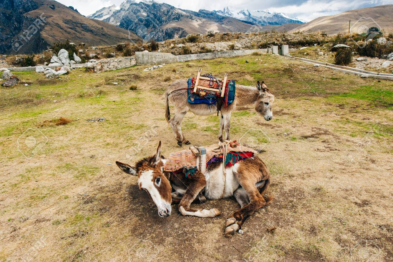 Donkey grazing in a pasture. Fluffy donkey lies near the mountains - 131807757