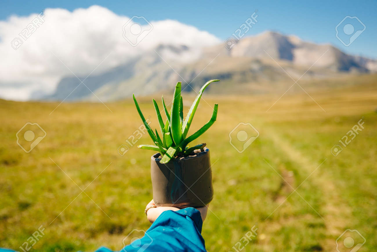 Aloe in a pot. Girl holding aloe flower in a pot in the foreground - 169729335