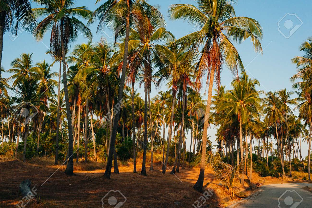 Wild tall green palms. Thailand Phuket island. Summer morning time. Landscape view. - 169711624