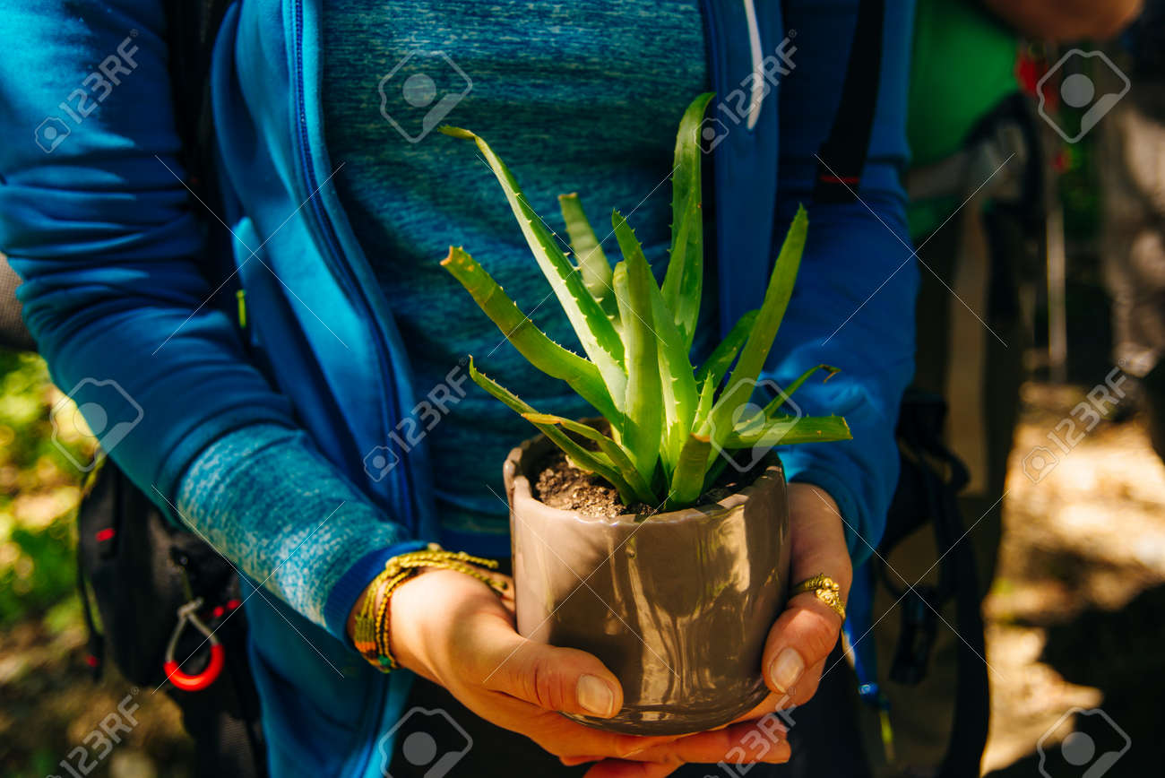 Aloe in a pot. Girl holding aloe flower in a pot in the foreground - 169531159