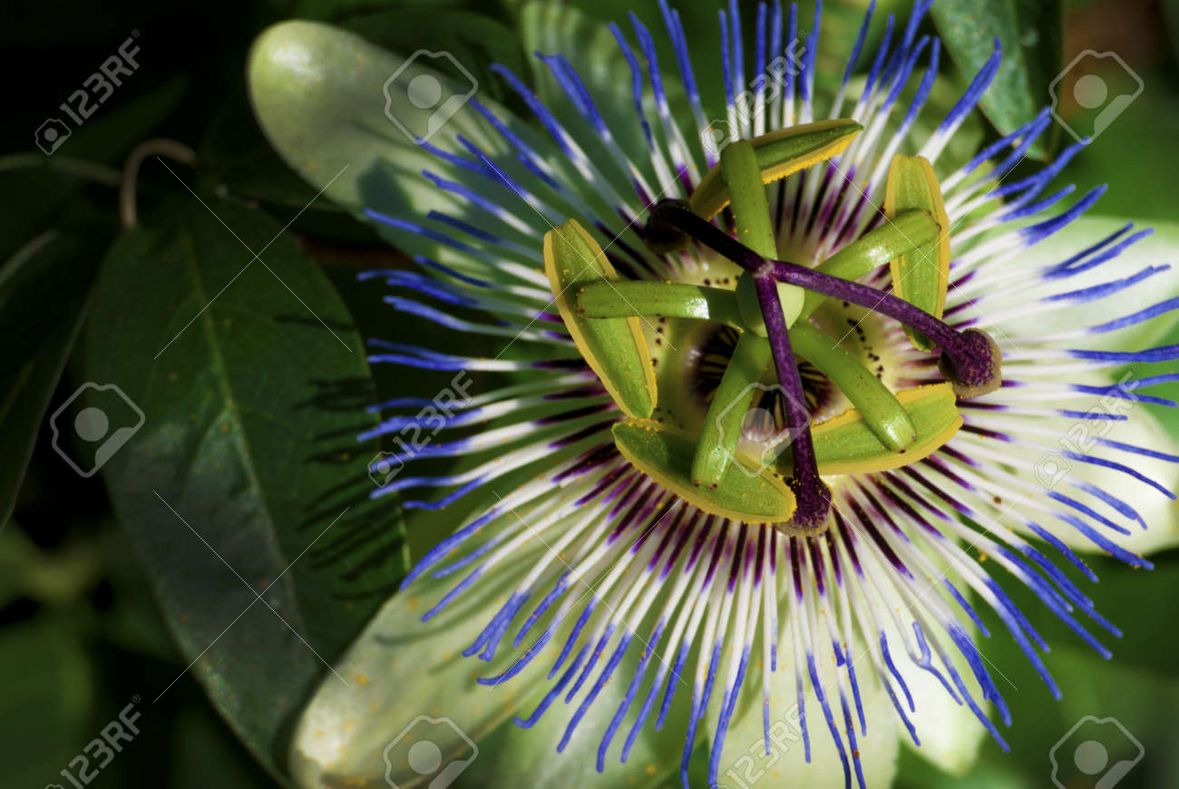 Kiwi Flower Exotic Fruit Grown In France Stock Photo Picture And