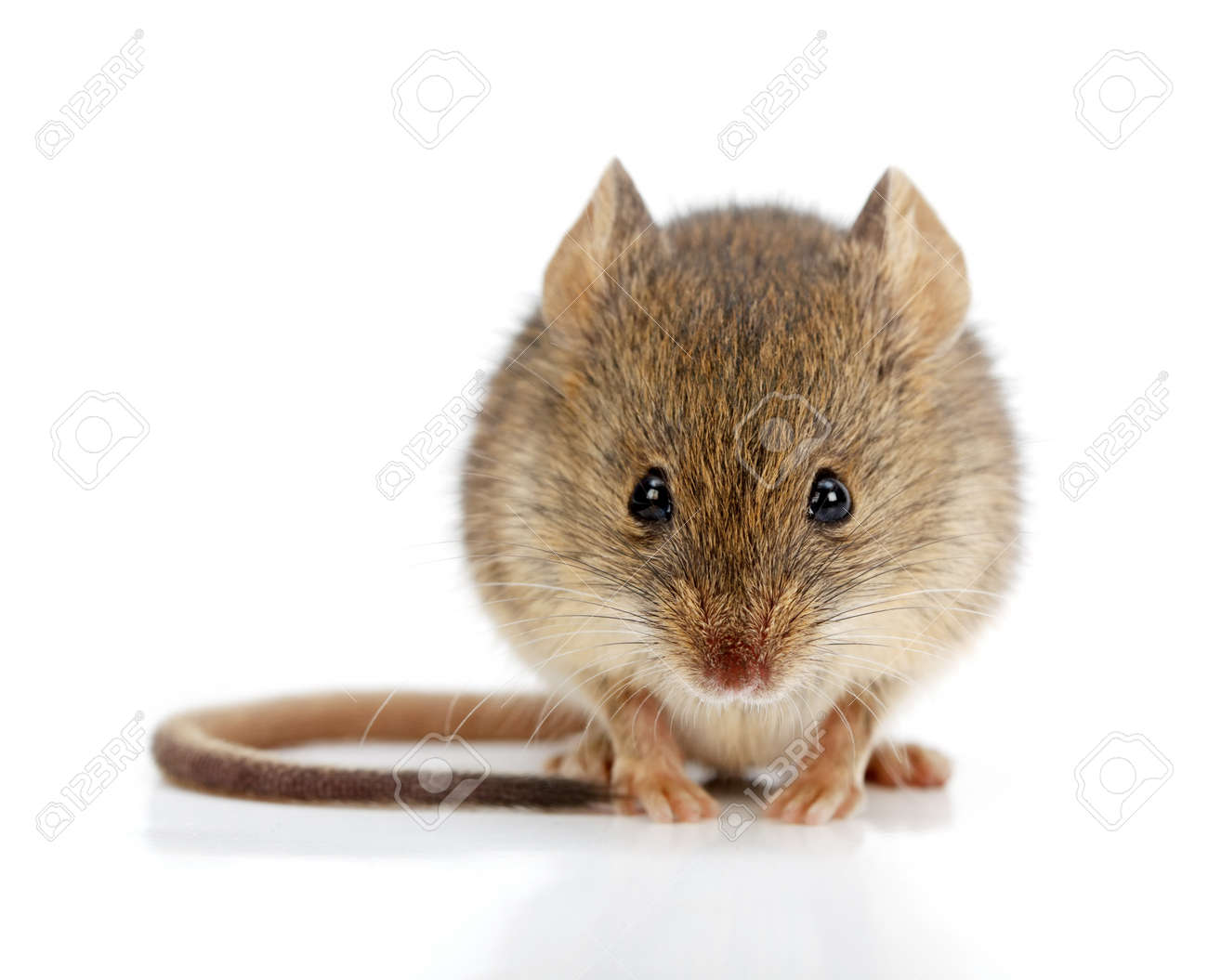 Close view of a tiny house mouse (Mus musculus) - 22162852
