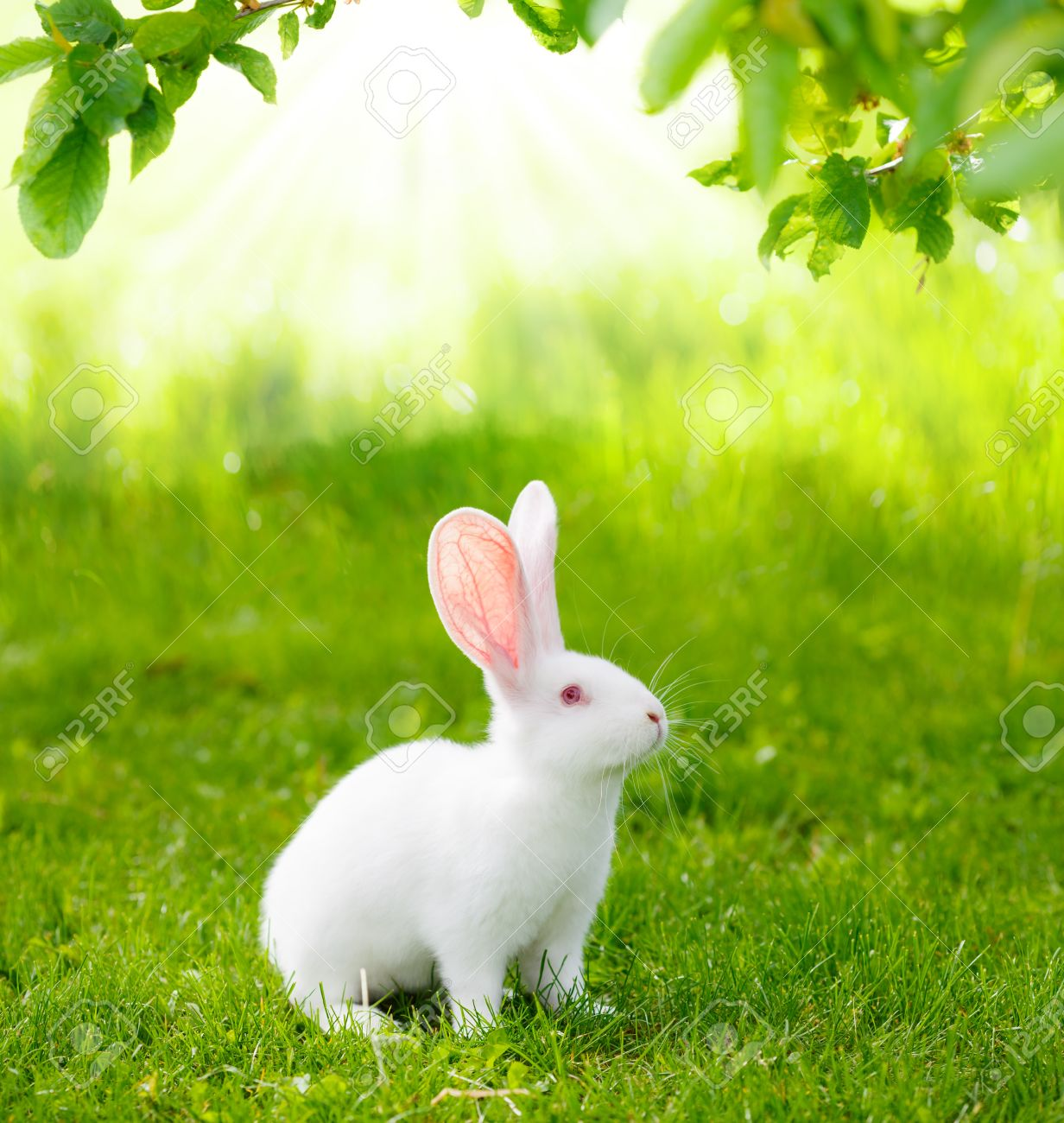 White Rabbit On Green Grass St...