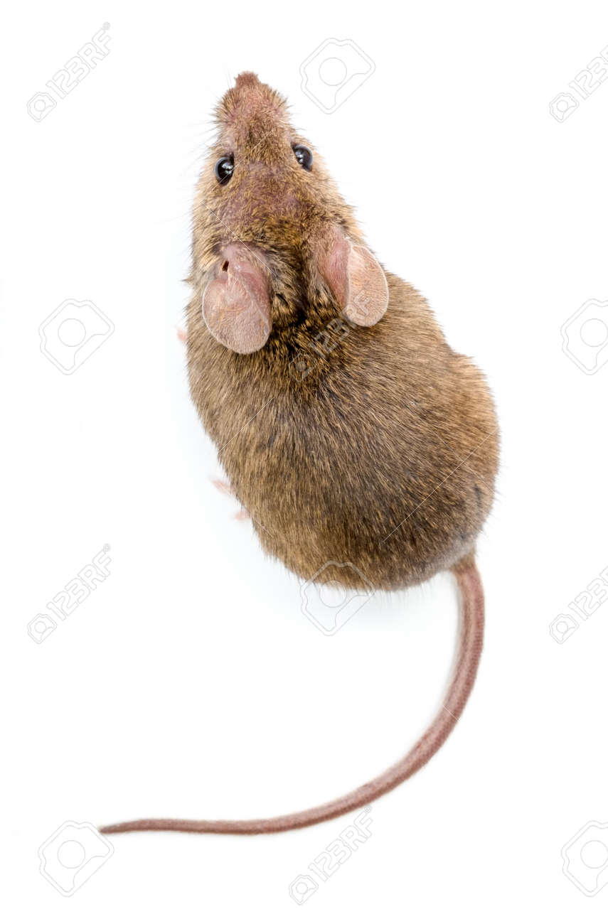 Close view of a tiny house mouse (Mus musculus) - 36198323