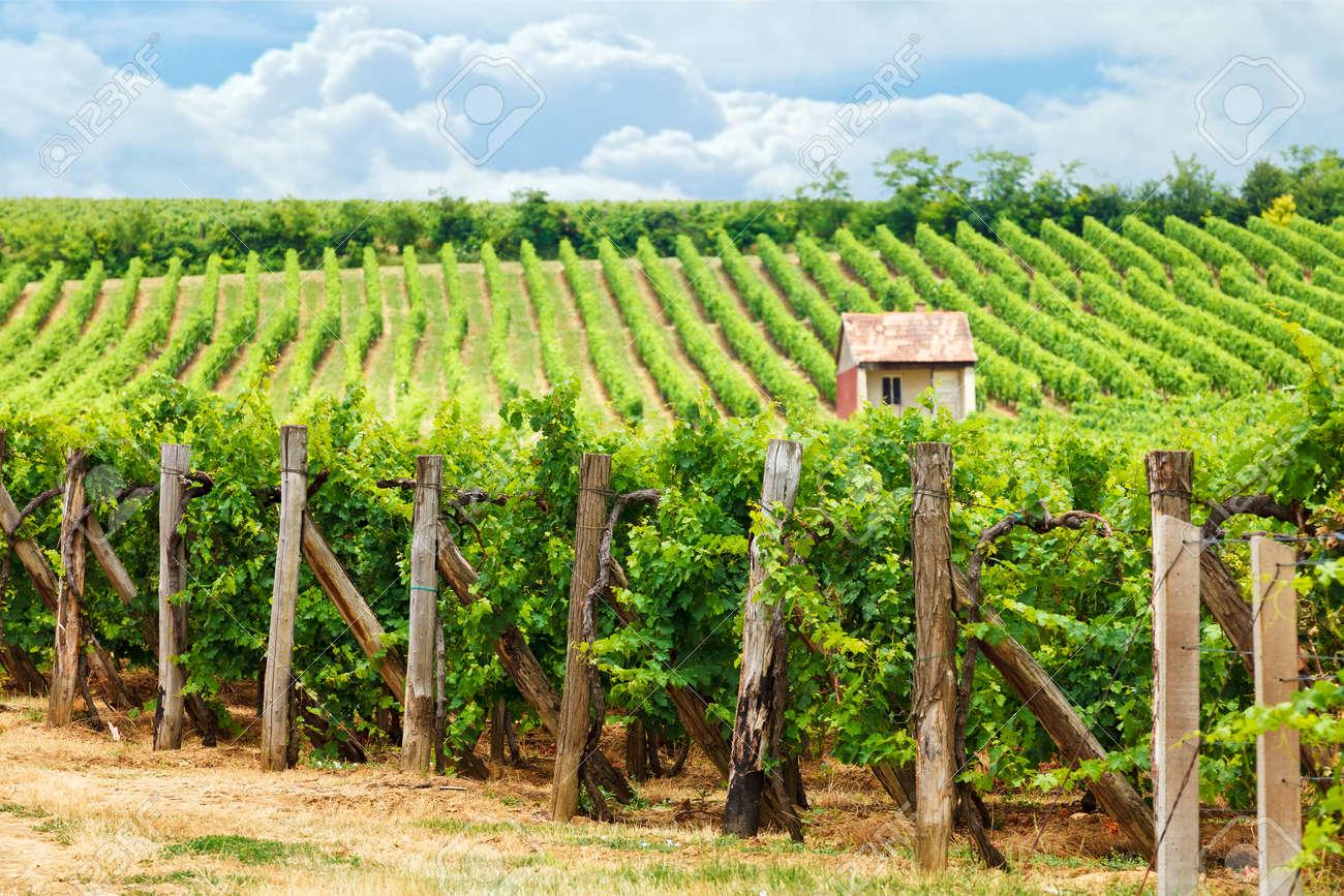 Old vineyard of Blaufrankisch blue Frankish grape in Hungary - 45885215