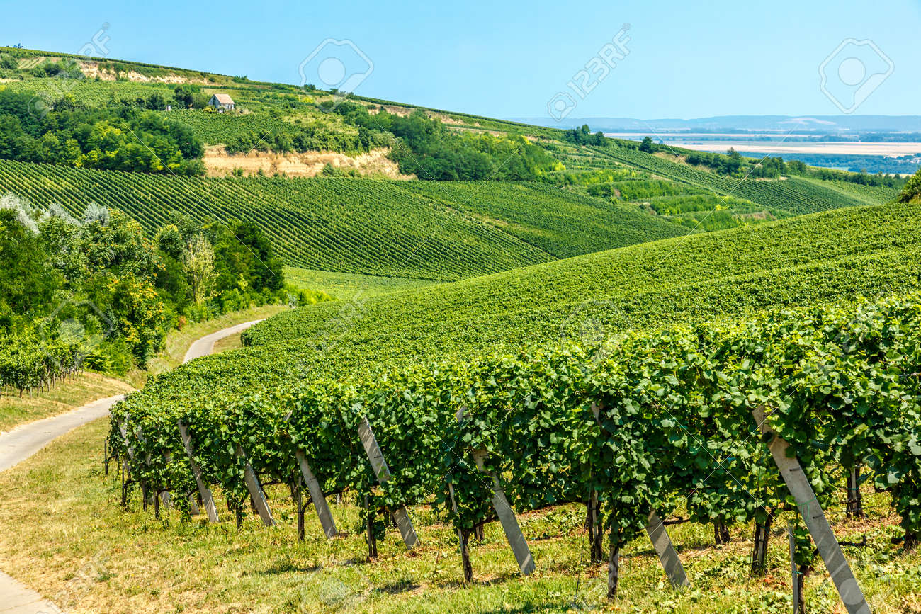 Merlot green grapes in a vineyard in Villany, Hungary - 47769691