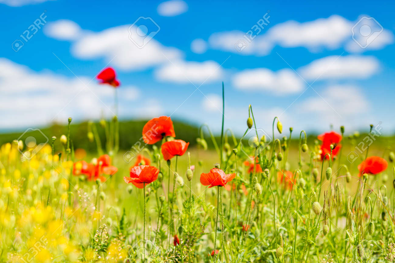 Beautiful Summer Flowers Nature Landscape. Field Of Red Poppy Flowers Blue  Sky Cloud. Natural