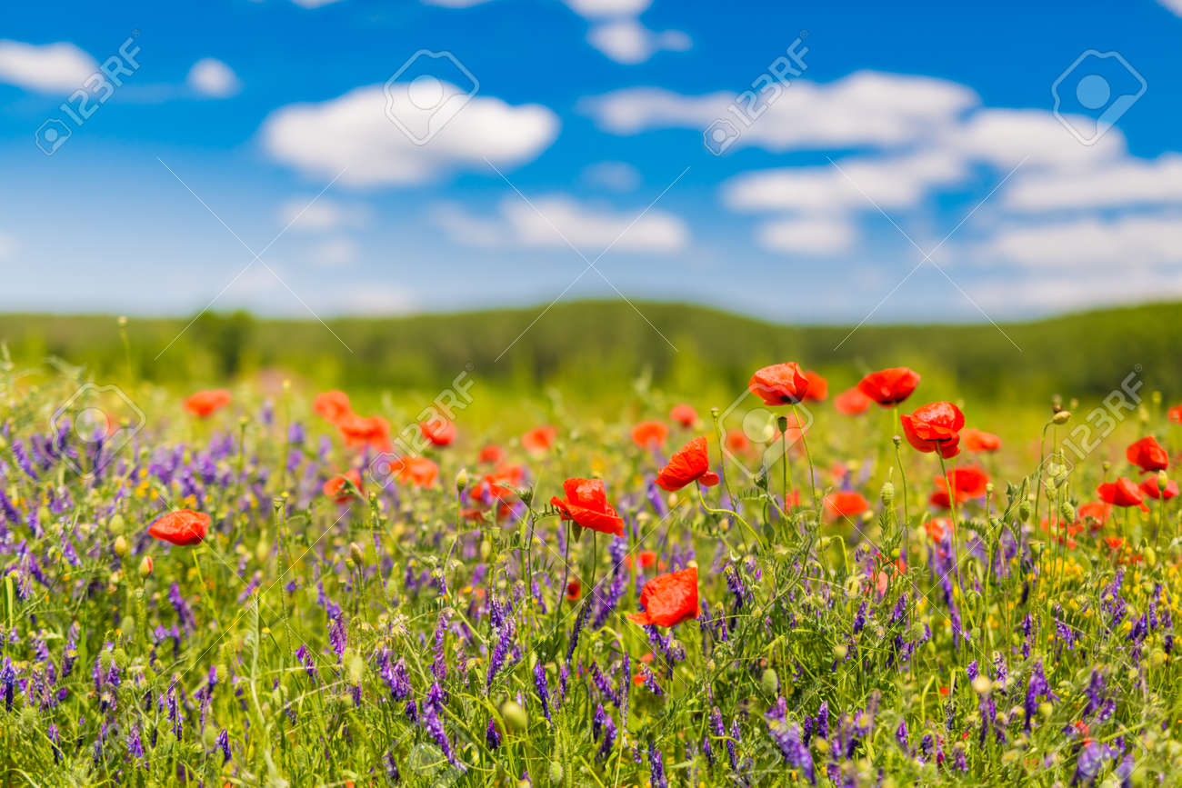 Beautiful Summer Flowers Nature Landscape Field Of Red Poppy