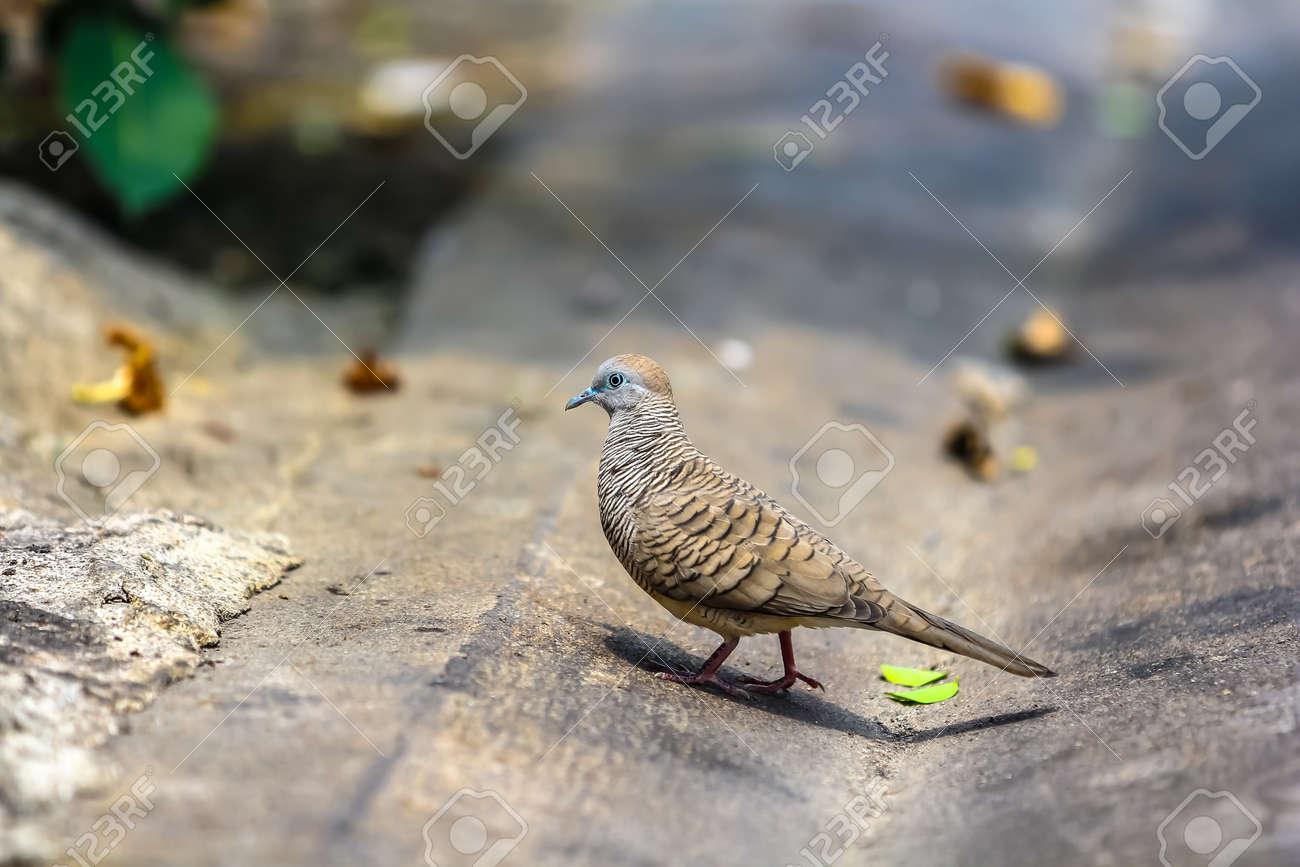 Java dove walking on the urban street background