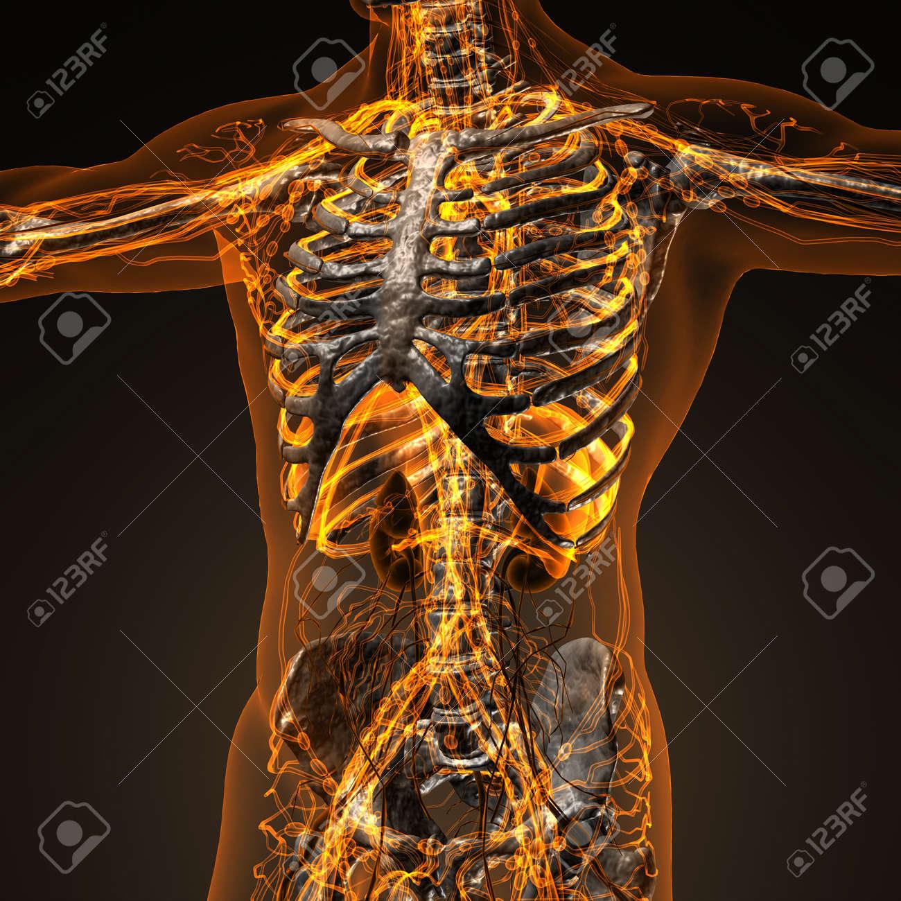 Menschliche Zirkulation Herz-Kreislauf-System Mit Knochen Im ...