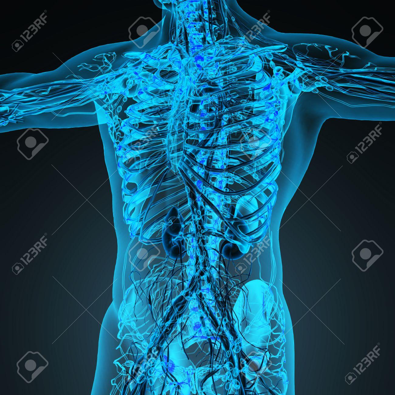 Niedlich Das Herz Kreislauf System Besteht Aus Zeitgenössisch ...
