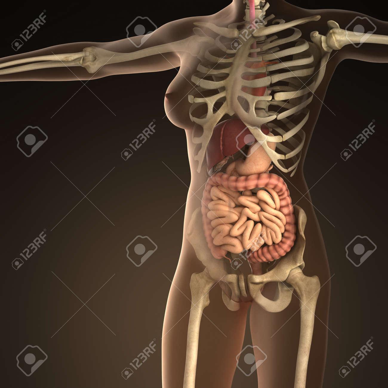 Perfecto Huesos Humanos Anatomía Patrón - Imágenes de Anatomía ...