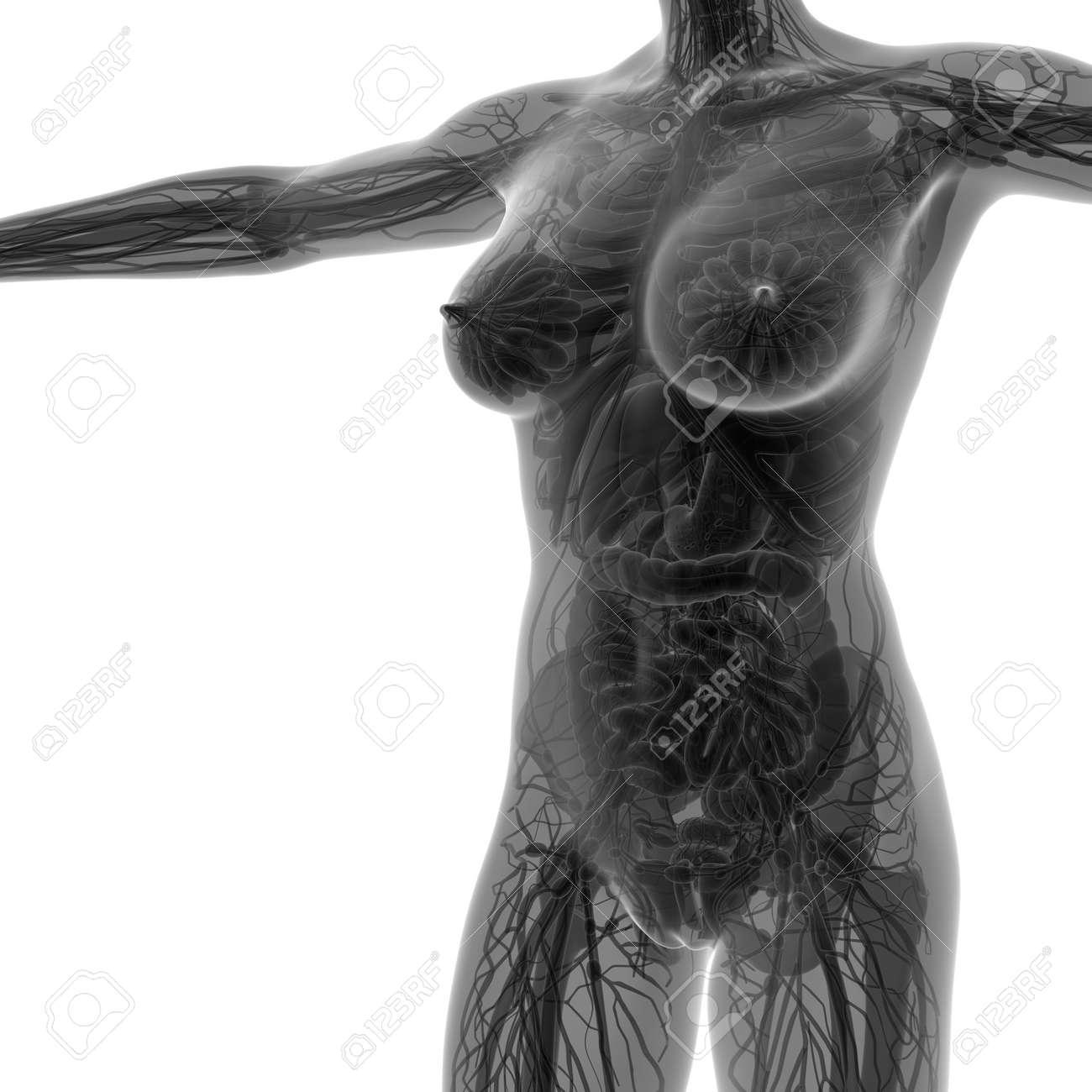 Wissenschaft Anatomie Des Menschlichen Körpers In X-ray Mit Allen ...