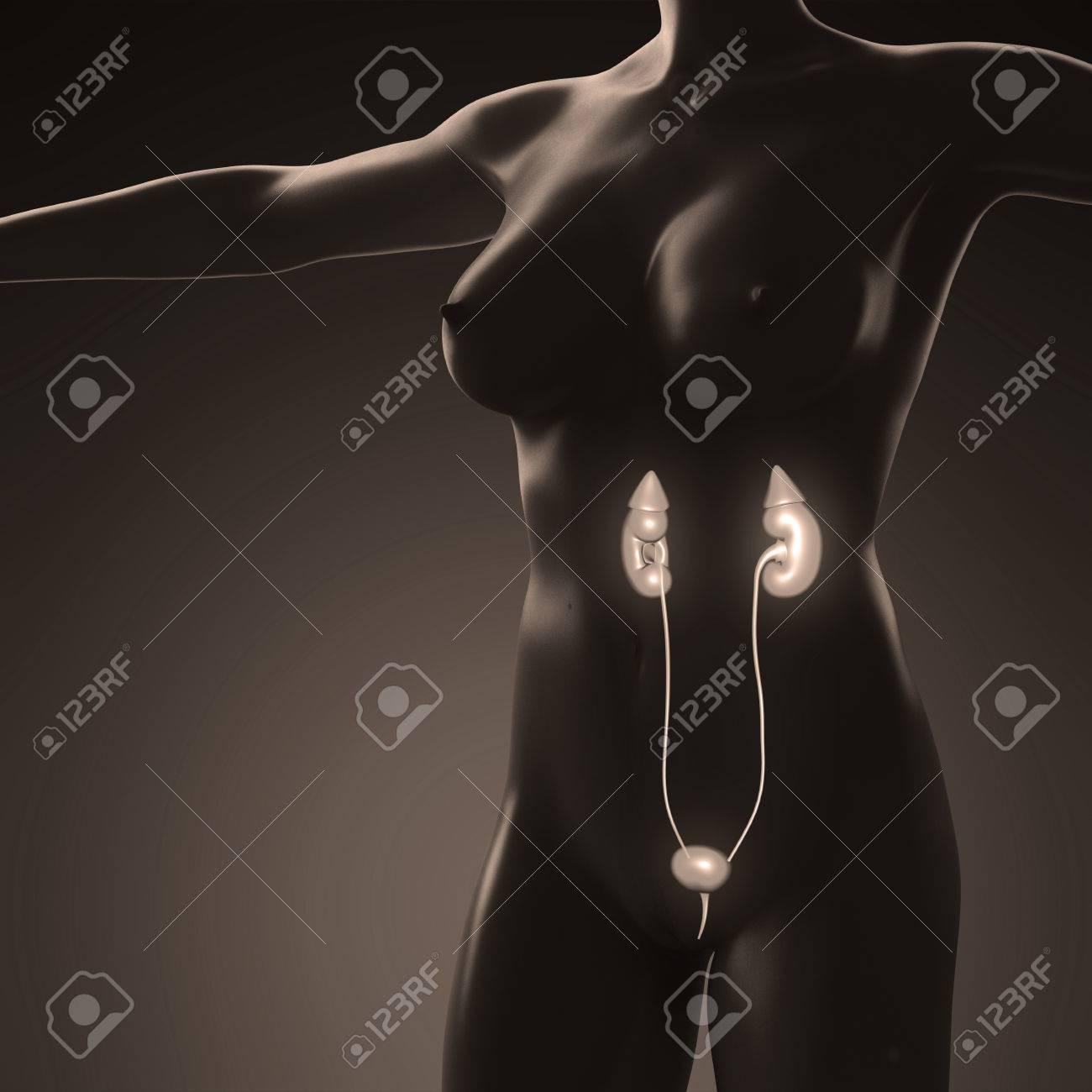 Anatomía Ciencia Del Cuerpo Humano Con El Riñón Resplandor Fotos ...
