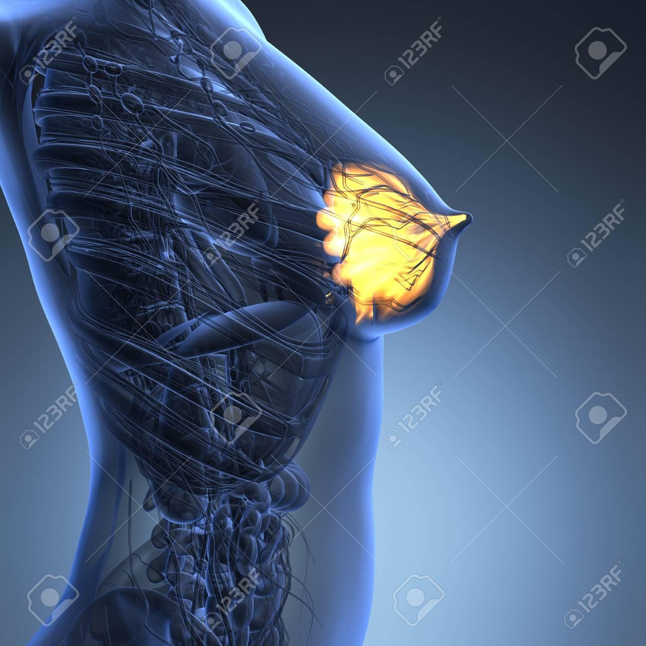 Wissenschaft Anatomie Des Menschlichen Körpers Mit Glühen Brustdrüse ...