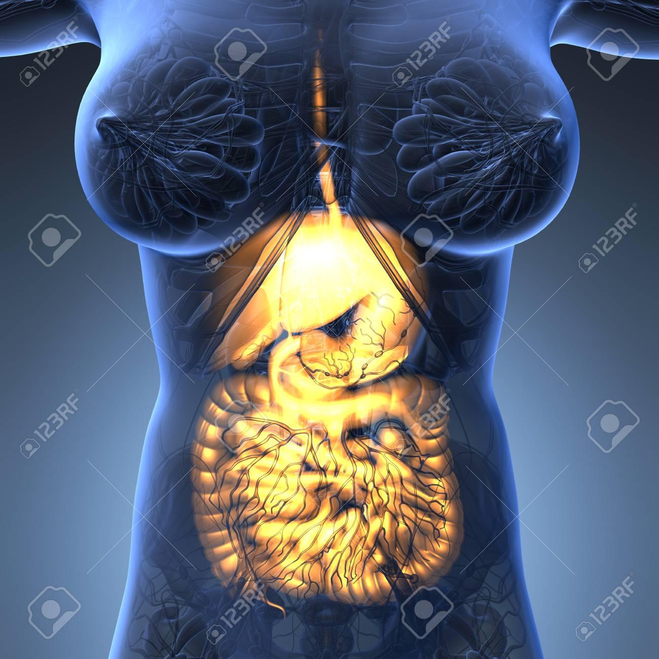 Science Anatomy Of Woman Body With Glow Digestive System Stock Photo