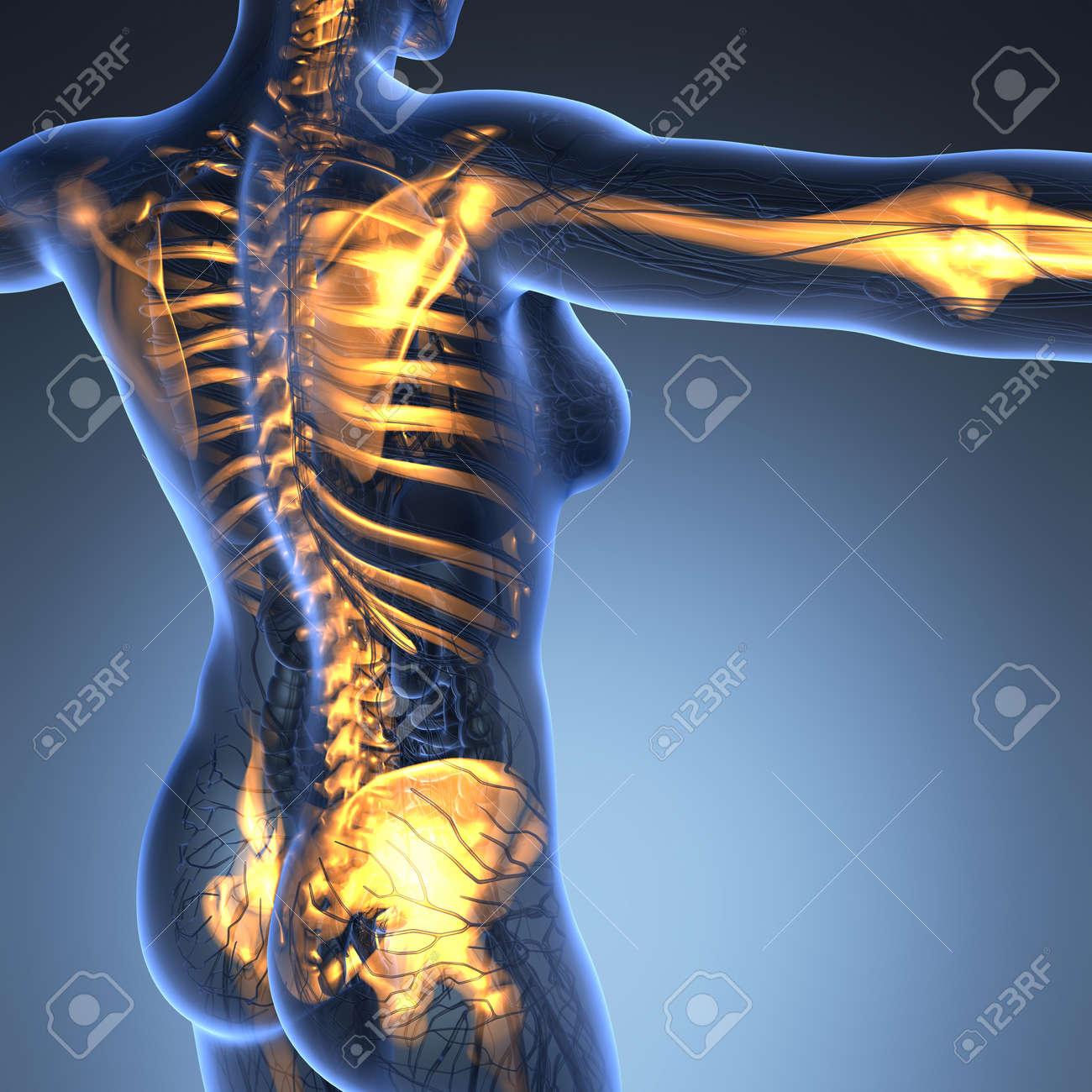 Anatomía Ciencia Del Cuerpo Humano En Rayos X Con Los Huesos Del ...