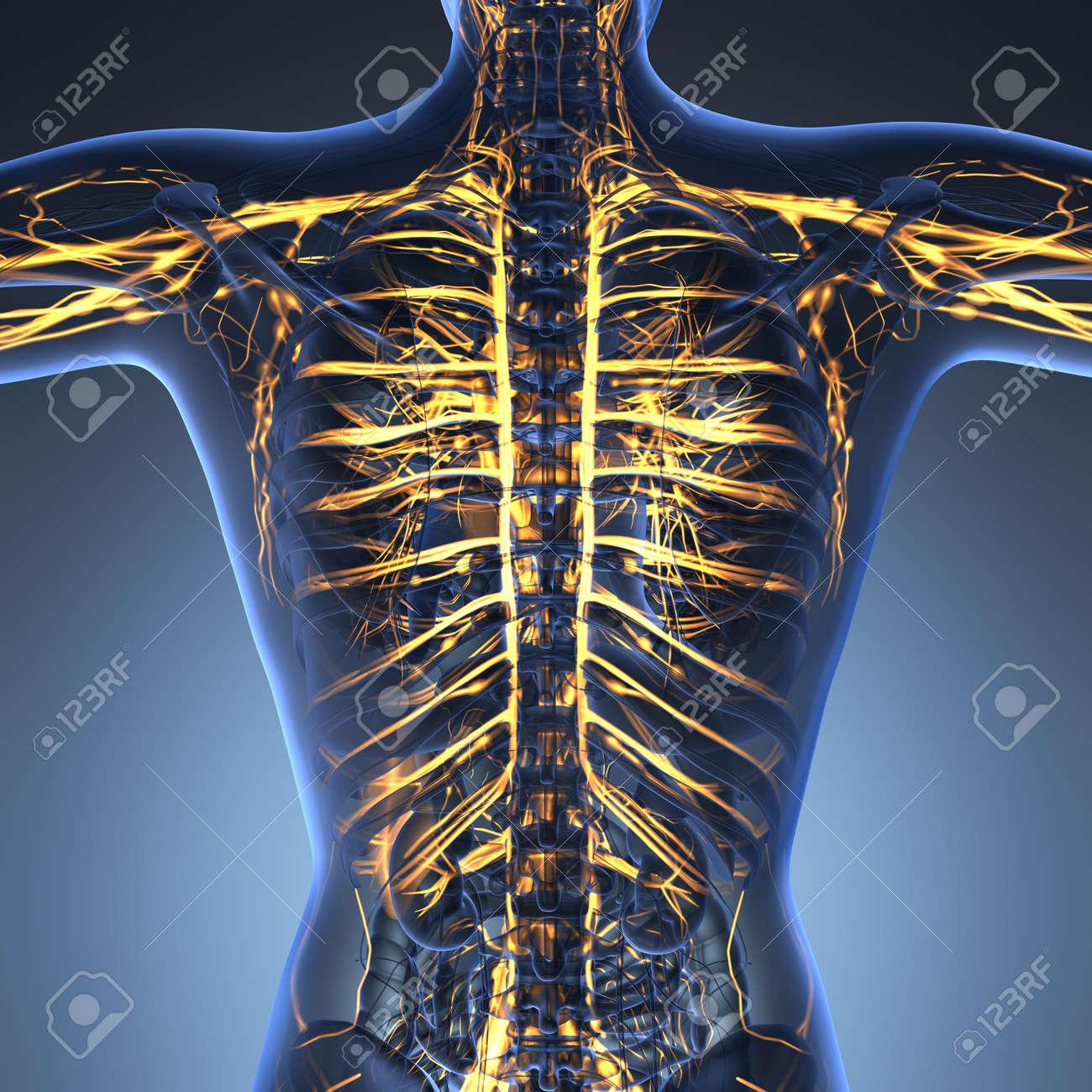 Anatomía Ciencia Del Cuerpo Humano En Rayos X Con Los Vasos ...