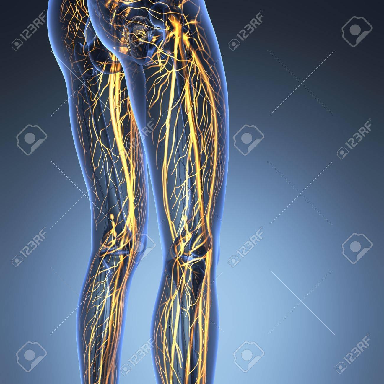 Wissenschaft Anatomie Des Menschlichen Körpers In X-ray Mit Glow ...