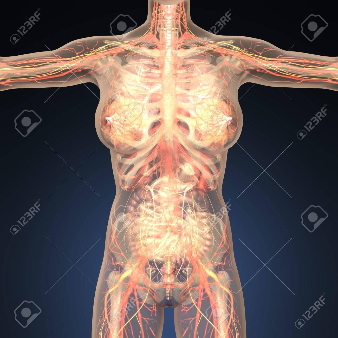 Anatomía De órganos Humanos Con Los Huesos En El Cuerpo Transparente ...