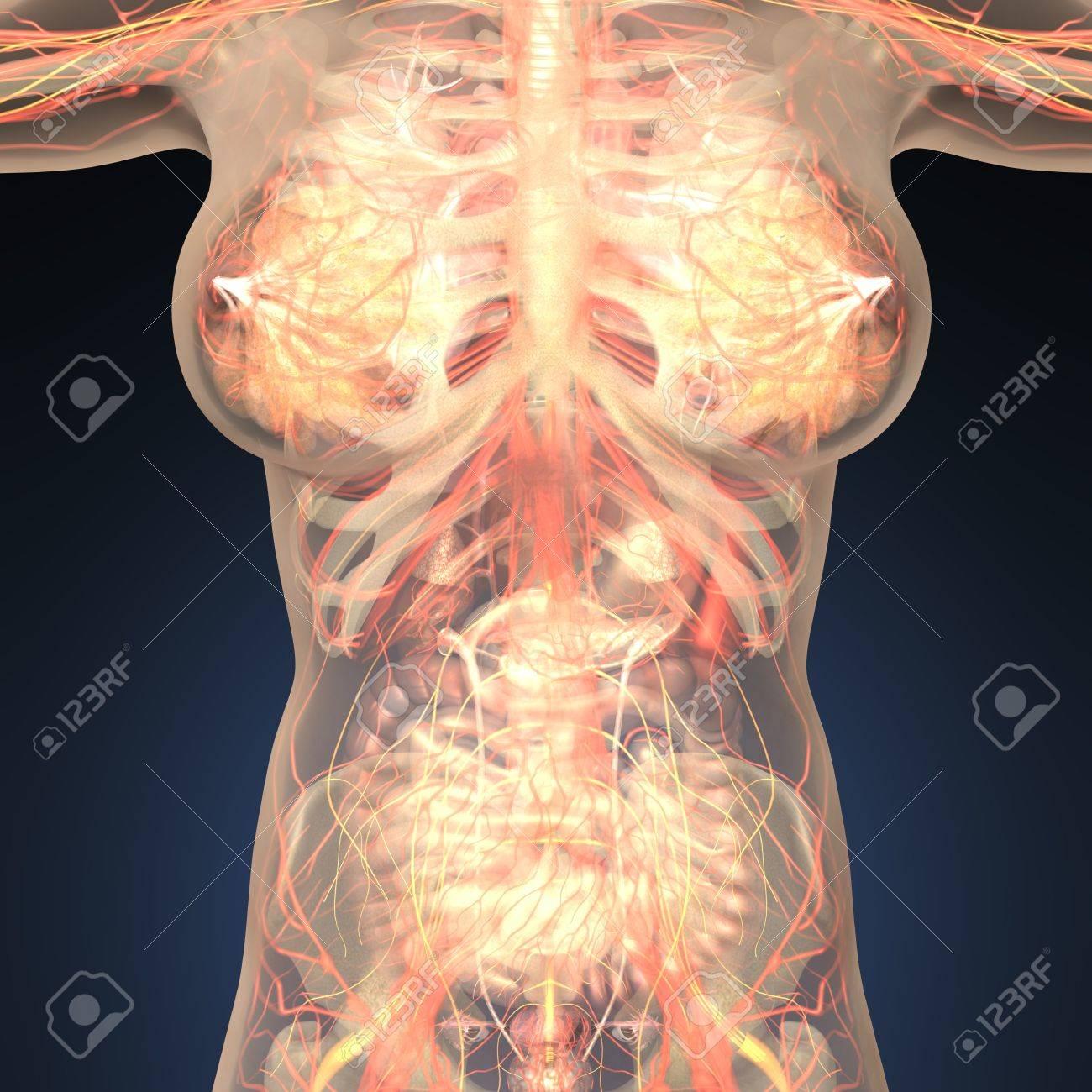 Anatomie Der Menschlichen Organe Mit Knochen In Transparenten Körper ...