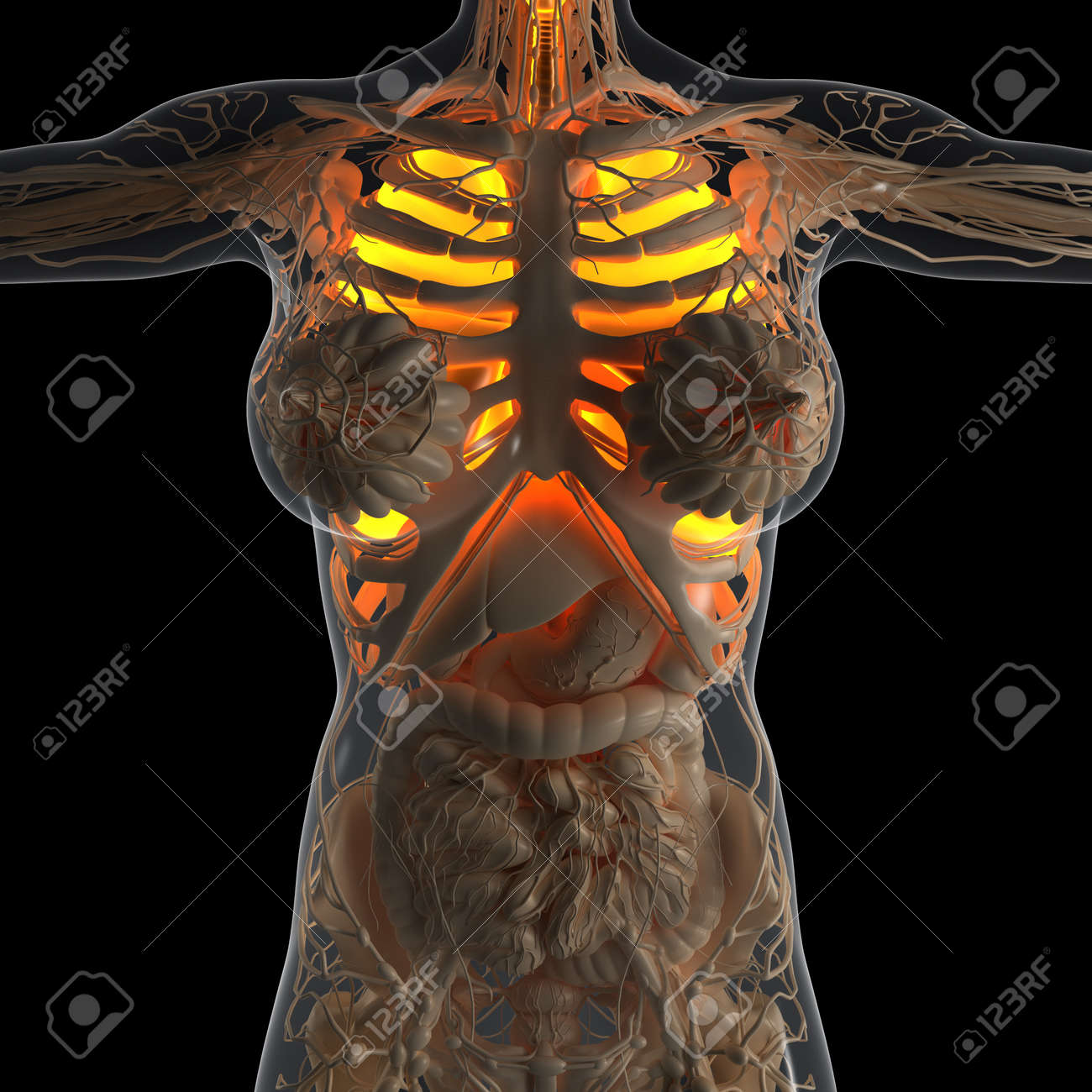 Science Anatomy Of Woman Body With Glow Lungs Stock Photo, Picture ...