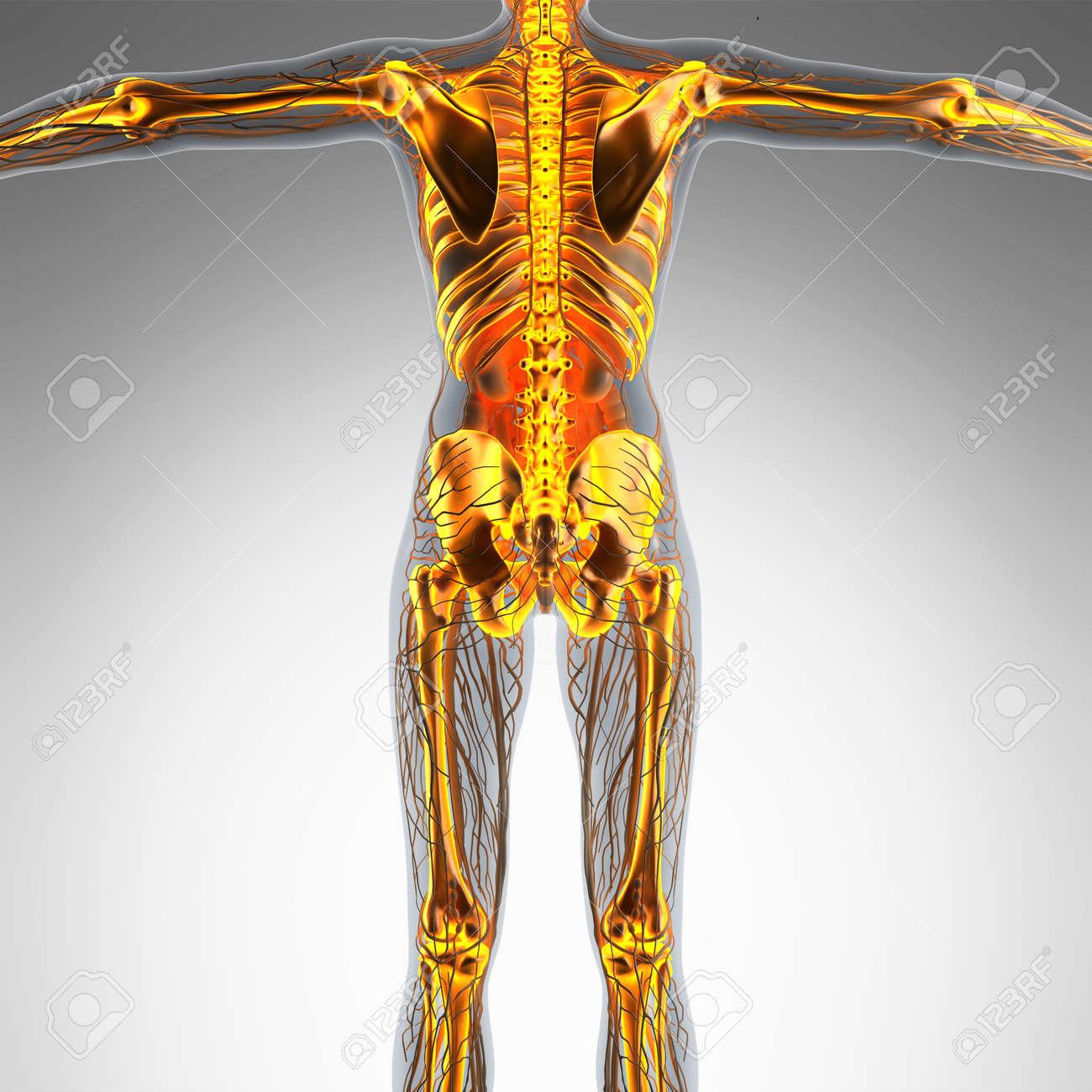 Großartig Skelett System Des Menschlichen Körpers Anatomie Ideen ...