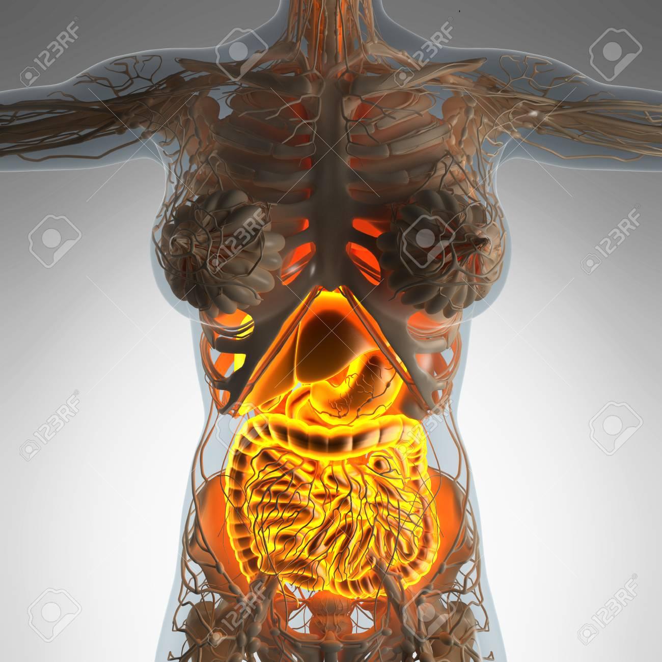 Science Anatomy Of Woman Body With Glow Digestive System Stock Photo ...