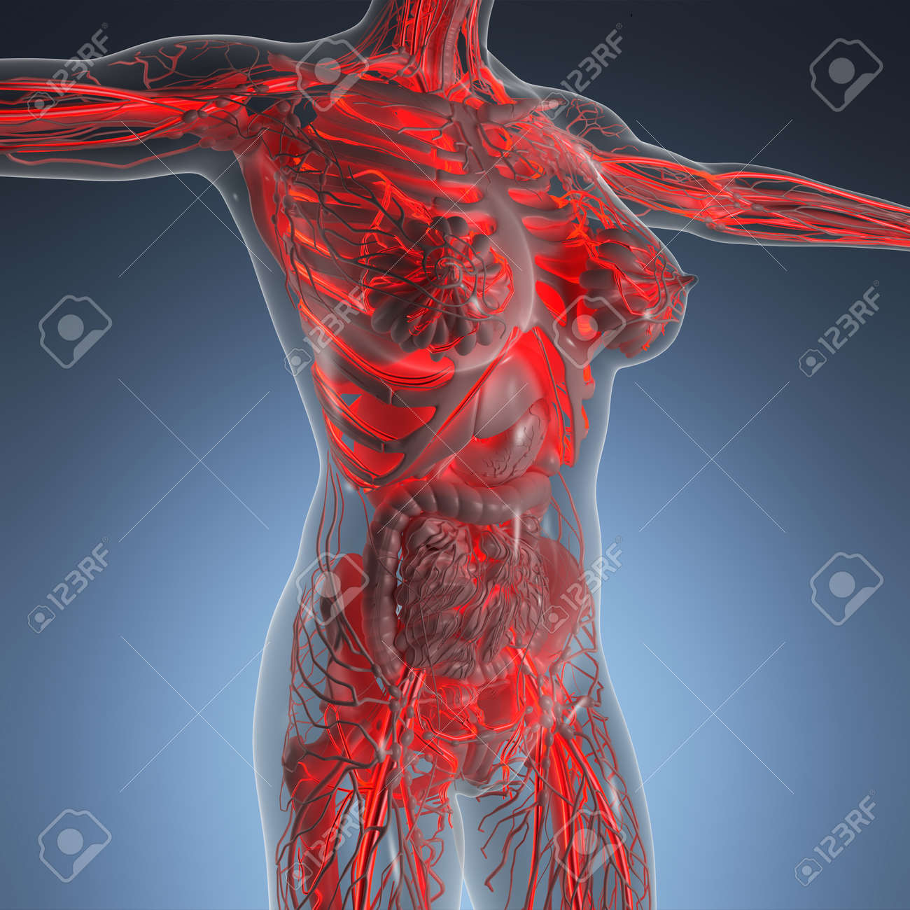 Science Anatomy Of Human Body In X-ray With Glow Blood Vessels Stock ...