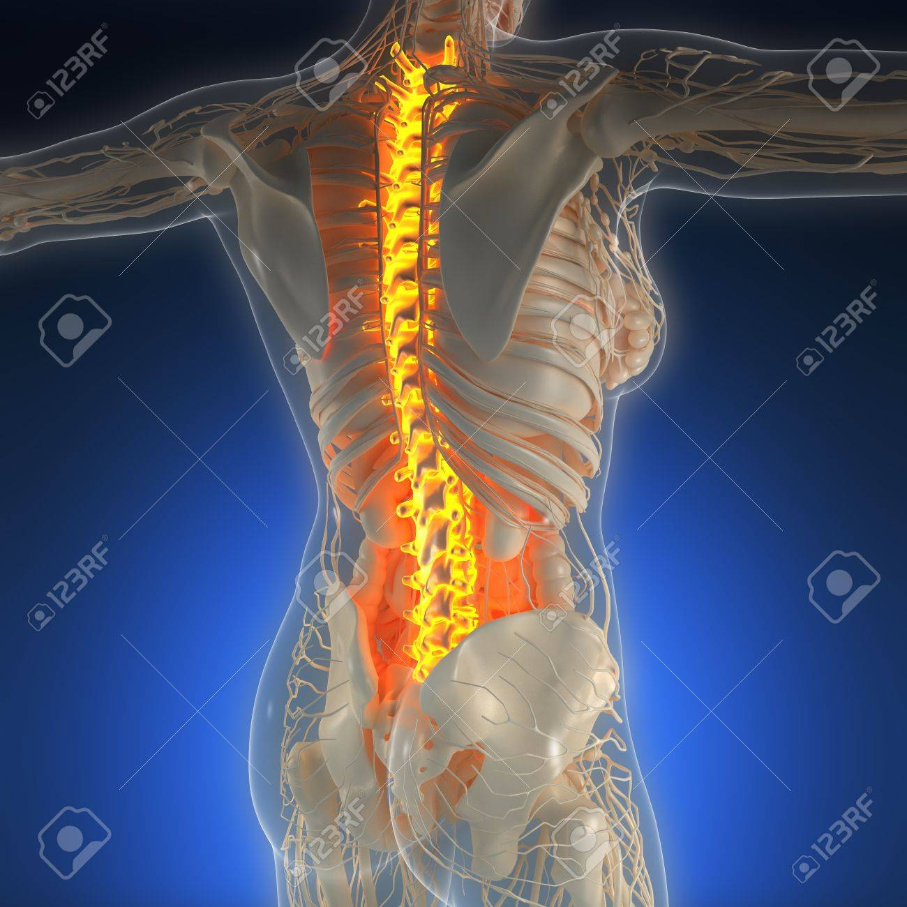 Science Anatomy Of Human Body In X Ray With Glow Back Bones Stock
